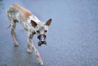 Đã giải cứu thành công chú chó bị dán mõm đến hoại tử